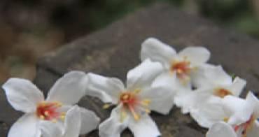 【彰化福田】福田油桐花 - 先來彰化福田賞油桐吧. 雪白花毯.請有公德心不要去搖樹踹樹好嗎?