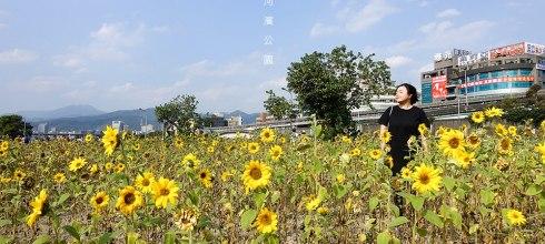 [旅遊] 台北,滿滿的向日葵大平台,內湖彩虹河濱公園
