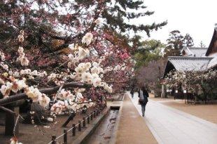 [遊記] 京都,北野天滿宮,意料之外的梅花滿佈