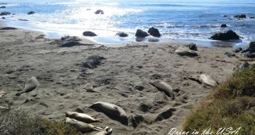 影音|加州一號公路觀賞海象做日光浴。原來海象移動速度這麼快