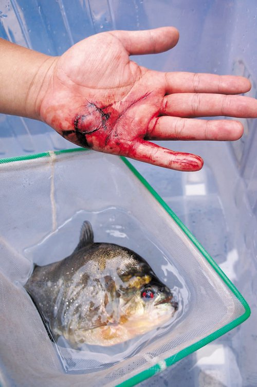Mr. Zhang's hand and attacking piranha