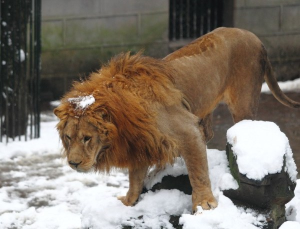 The male lion is hit by a snowball.