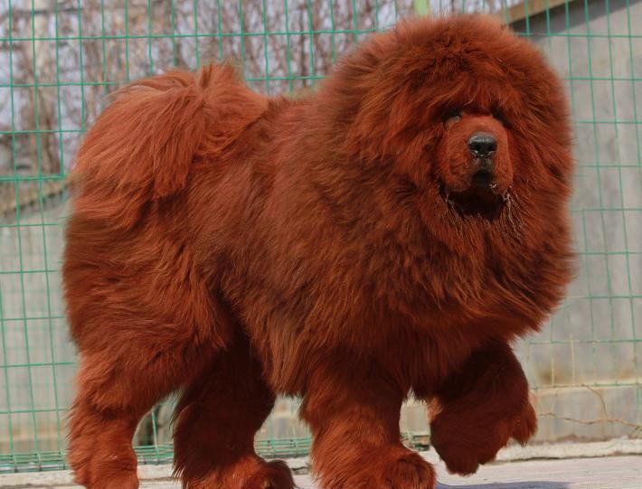 Tibetan mastiffs from guard dogs to status symbols to hot pot