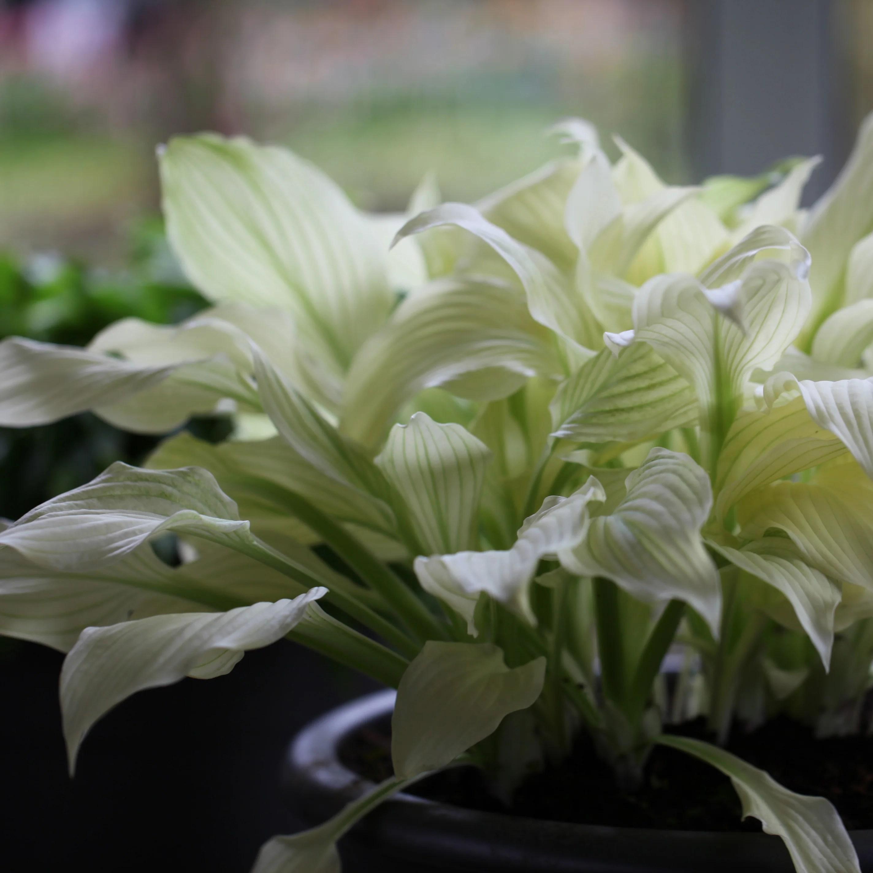 Fullsize Of White Feather Hosta