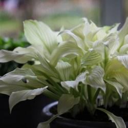 Small Of White Feather Hosta