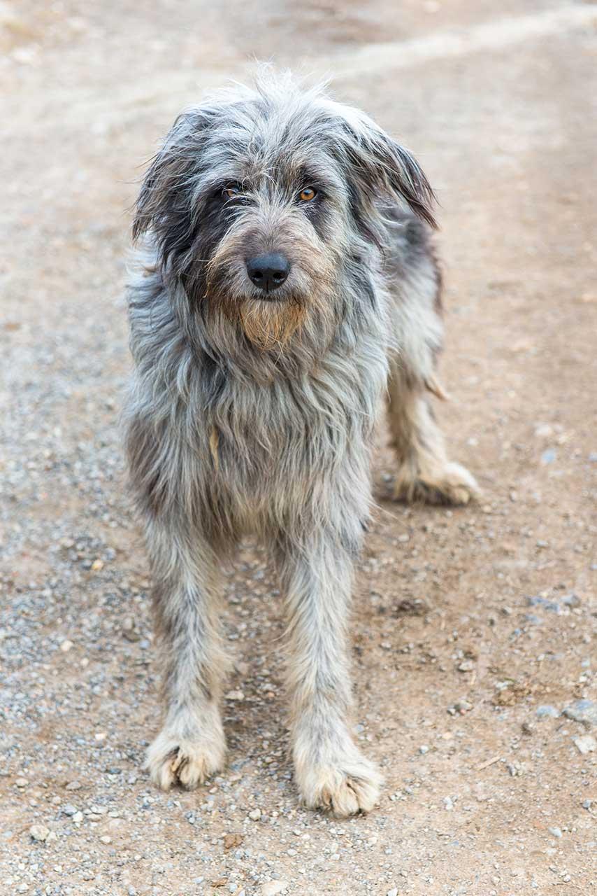 Clever Bergamasco Bergamasco Dog Breed Everything About Bergamasco Healthiest Dog Breeds That Don T Shed Australia Healthiest Dog Breeds Problems bark post Healthiest Dog Breeds