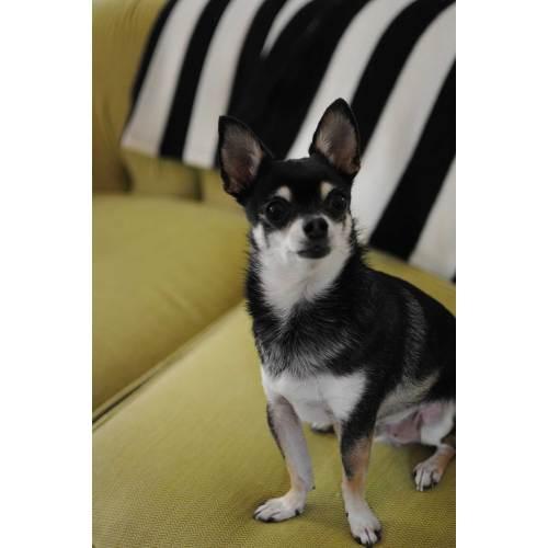 Medium Crop Of Chihuahua Life Span