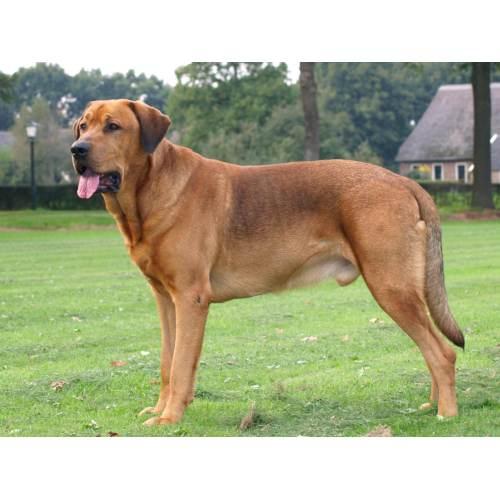 Medium Crop Of Red Dog Breeds