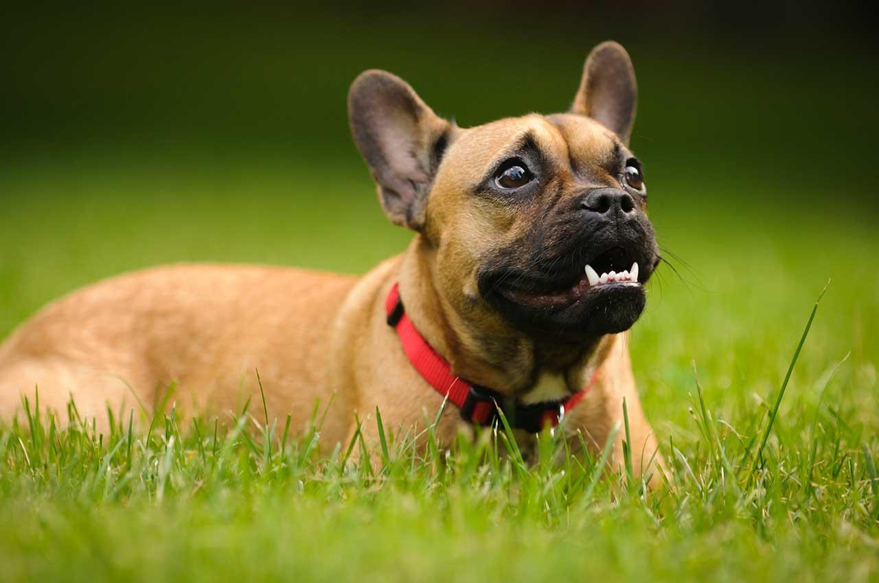 Fullsize Of French Dog Breeds