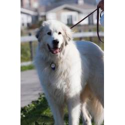 Small Crop Of Large White Dog Breeds