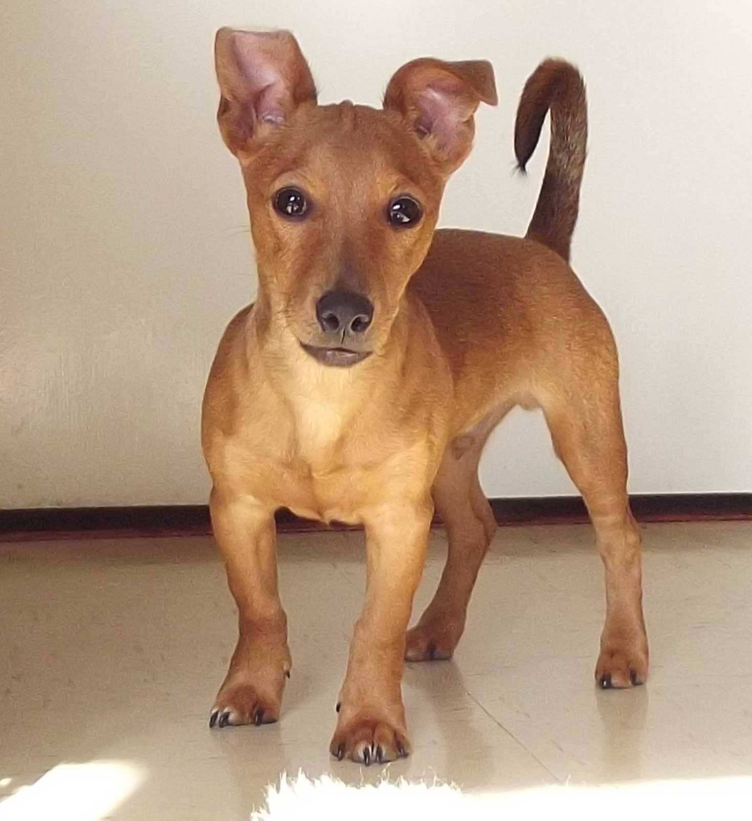Adorable Brown Jackshund Jackshund Dog Breed Everything About Jack Russell Dachshund Mixes Why Do Dachshunds Shed So Much Do Dachshunds Shed Winter bark post Do Dachshunds Shed
