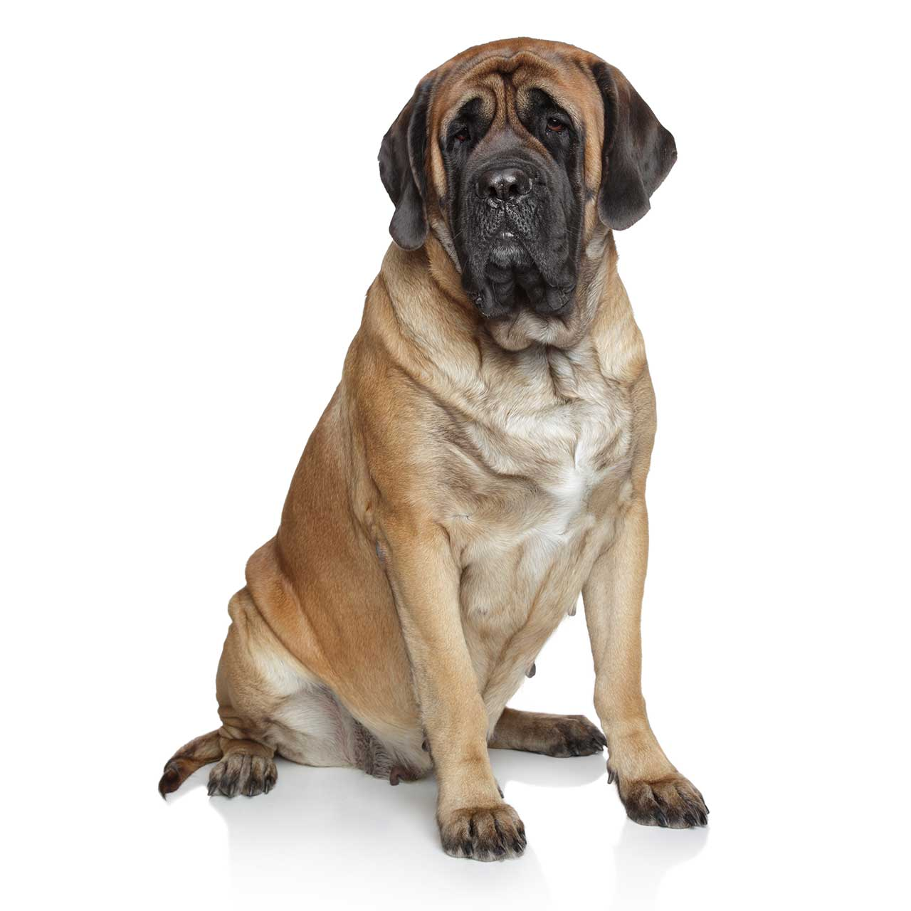 Deluxe Mastiff Photos Mastiff Dog Breed More Heaviest Dog Breed World 2016 Heaviest Dog Breed Wiki bark post Heaviest Dog Breed