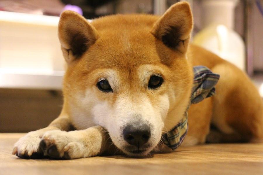 寵物毛小孩 我高傲但是我宅心仁厚,浮水魚羹店裡的冷傲柴柴 台南市東區|柴犬CoCo-小ㄚ鳳浮水魚焿