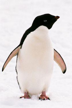 O pinguim-de-adélia apresenta uma coloração muito específica, tornando-o muito fácil de identificar