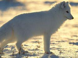 raposa-do-ártico 2