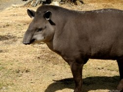 "Tapir-brasileiro, ""Tapirus terrestris"". Licensed under CC BY-SA 2.5 via Wikimedia Commons - http://commons.wikimedia.org/wiki/File:Tapirus_terrestris.jpg#mediaviewer/File:Tapirus_terrestris.jpg"