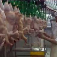 【グロ注意】肉が食えなくなる屠殺場映像