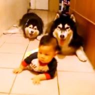 【萌え注意】赤ちゃんの真似をするハスキー二匹が可愛すぎるwww