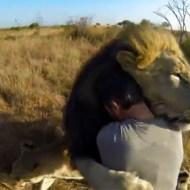 【萌え注意】ライオンが抱きついてきて甘えてくる萌え映像w