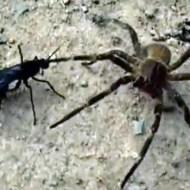 【衝撃映像:虫】蜘蛛を主食にするタランチュラホークスズメバチの捕食映像