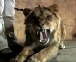 【衝撃映像:動物】横で踊るダンサーになぜかライオンがブチ切れるwww