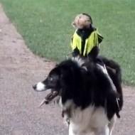 【おもしろ動画】犬に乗って颯爽と駆ける猿がすごいwww