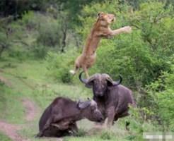 【衝撃映像:動物】ライオンに襲われてる仲間を助けるためハリケーンミキサーを繰り出す牛