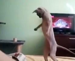 【おもしろ:猫】ベッドを擦ると猫がくねくねして直立不動にwwwヘビみたいww