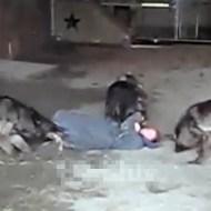 【衝撃映像】狼に集団に食べられる・・・とおもったらww