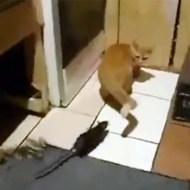 【おもしろ】猫VSネズミ これが本当の下克上じゃー!!