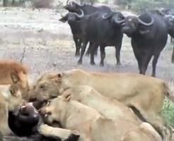 【動物】子供をライオンに食べられたバッファローの逆襲がやべぇw
