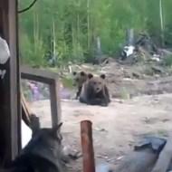 【衝撃映像】小熊が可愛いとか思ってたら後悔した・・・