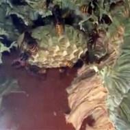 【衝撃映像】窓にできた中身が丸見えの蜂の巣wこれ何時間でも見れるw