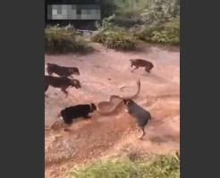 【死闘】巨大キングコブラ VS 5匹の犬
