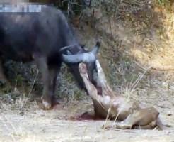 【閲覧注意】ライオンVSバッファロー 血まみれの死闘怖すぎ・・・