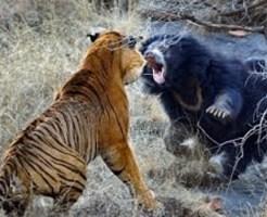 【グロ注意】トラの群れの中に小熊を投入した結果・・・ 閲覧注意