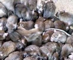 【グロ注意】捕まった二匹のネズミ・・・餓死で寸前で共食いを始める・・・