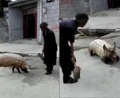 【動物衝撃】誰でも出来るブタの安楽死の仕方覚えとけ・・・