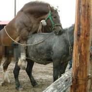 【面白】お馬さんの後尾中にインタビューしたったwチ●コのでかさが半端ないwしかも♂同士だった件www