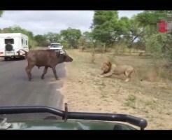 【閲覧注意】勇敢に戦った牛が5秒後ライオン集団の餌になるまで・・・