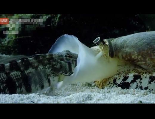 【閲覧注意】生きたままイモガイに食される魚の断末魔が聞こえてきそうな映像がコレ