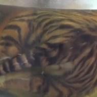 【衝撃映像】表向きはトラの保護を謳いつつ、裏で闇取引してトラ40頭殺してた完全ブラックな「トラの寺」・・・