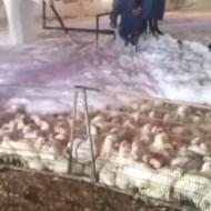 【閲覧注意】感染症にかかった鶏を数千羽いっきに殺処分する方法が「窒息泡」 ※動画
