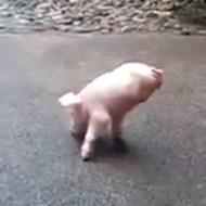 【衝撃映像】生まれつき脚のないブタさんの日常が常に逆立ち歩行でたくましすぎw