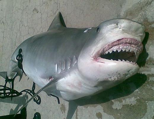 【閲覧注意】この巨大なサメの腹を裂いたら出てきたモノがこちら・・・