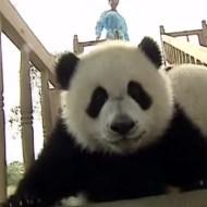 【萌え映像】滑り台にハマったパンダの子供がおもしろすぎる件www