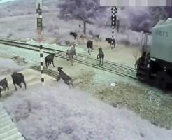 【衝撃映像】牛の群れVS貨物列車 牛の群れに列車が突っ込んだらどうなるかやってみた