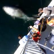 【衝撃映像】全長270cm、重さ400kg!超巨大マグロを釣り上げた!!