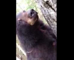 【クマーーー】熊が木登りして目の前にwでも意外と臆病だったw