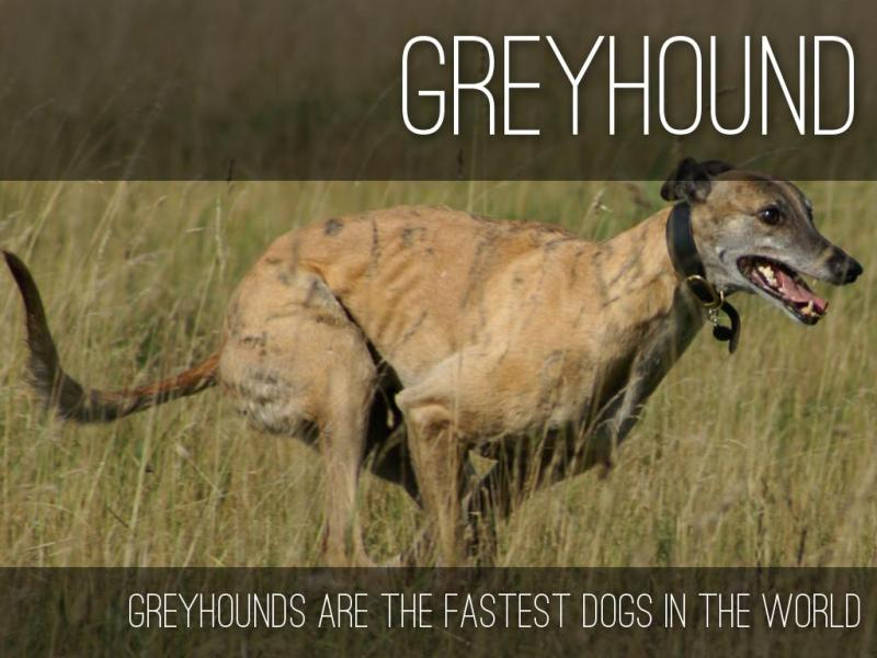 Large Of Fastest Dog In The World